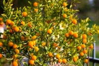 Kumquat Fortunella margarita