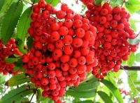 Jerebika Sorbus aucuparia